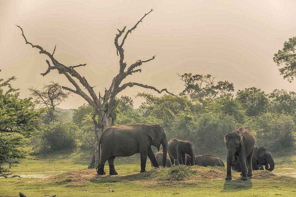 Elephants in a National Park in Sri Lanka